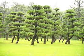 pine tree in japan garden stock photo 104425753