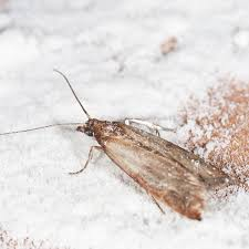 how to get rid of pantry moths planet