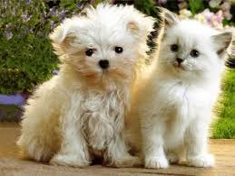 pictures of cute dogs and cats together. Cute Cats And Dogs Together Pictures White Puppy Kitten Picture With Of