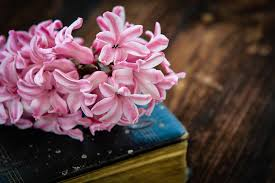 hyacinth book flower flowers pink old book used