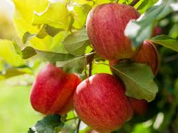 Fruit Trees  Charlotte Real Estate  Charlotte NC Homes For Sale Fruit Trees For Sale In Nc