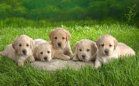 Free download Cute Puppies HD Desktop ...