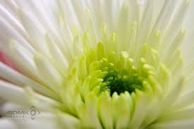 close up of a lime green and white chysanthemum flower on lime green wall art pictures with lime green and white chysanthemum flower wall art prints