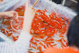 夏祭りの金魚すくい無料の写真素材はフリー素材のぱくたそ