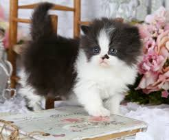 black and white kittens for sale.  Black Share On Facebook Intended Black And White Kittens For Sale 2