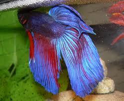 Výsledek obrázku pro tropical warrior fish