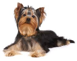 dogs yorkshire terrier main image