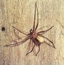 Brown Recluse Spider Britannica Com