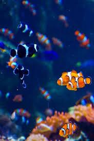black and orange clown fish. Modren Clown Clown Fishes I Have Black And Orange Shuffles Black Nemo Torch Throughout Black And Orange Clown Fish