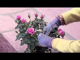 how to prune miniature rose bushes