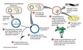 Since the first successful execution of the process in 1996, cloning has become a useful technique in the field of biotechnology.through cloning, transgenic (organisms having genes of interest inserted in their genome) plants and animals are used to make clones from adults. How Are Organisms Genetically Modified
