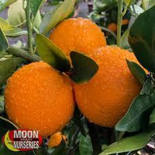 valencia orange citrus and fruit