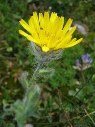 Hieracium villosum - Wikipedia