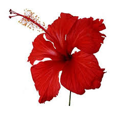 hibiscus flowers hibiscus flowers dried 250 gms