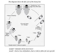 The Diagram Shows The Life Cycle Of The Honey Bee Testbig Com