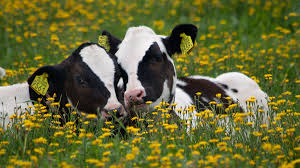 """Image result for cows """"org"""""""