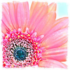 pink gerbera daisy canvas wall art on gerber daisy canvas wall art with pink gerbera daisy canvas wall art rosenberryrooms
