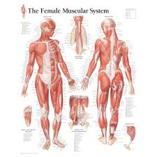 Scientific Publishing Male Muscular System Chart