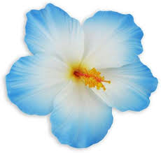 hibiscus flowers large white blue hibiscus flower hair clip shaka time hawaii
