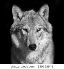 wolf face black and white. Interesting Black Black And White Close Up Portrait Of Grey Wolf Female Square Image  Beautiful For Wolf Face And White