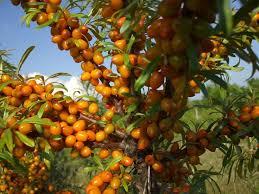 Tropical Fruit Plants  Tropical Fruit Trees  Fast Growing TreesHybrid Fruit Trees For Sale