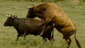 bulls and cows mating.  Bulls Bull Mating Hard Close Up Funny Videos  Big Season  Wild Animals Inside Bulls And Cows