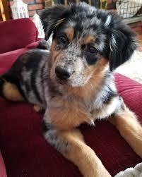 Maggie Shepherd Australian Designer Australian Retriever Named Maggie Aussie Puppies