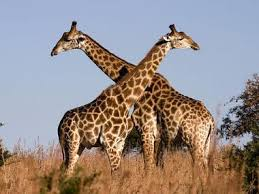pictures of a giraffe. Delighful Pictures Portrait Of A Giraffe Personality Throughout Pictures Of A
