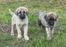 Anatolian Shepherd Puppy Growth Chart Anatolian Shepherd Dog
