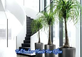 Best indoor plants for office Small Best Indoor Office Plants Tall Indoor Plants For Office Doragoram Best Indoor Office Plants Tall Indoor Plants For Office