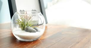 tillandsia air plants terrarium kit diy set with ionantha inspiration by white sand beach