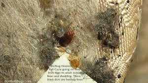 47+ Bedbugs On Mattresses Background