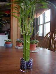 Houseplant Care Guides: Lucky Bamboo 101