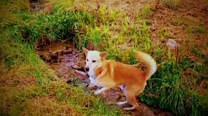 Eyzer - our first Canaan Dog - YouTube