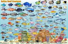 Hawaiian Reef Fish Chart Belize Maps Dive Fish Id Cards
