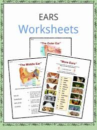 Phonics teaches a student to read by using the sounds of the letters in a word. Ear Facts Worksheets Information For Kids