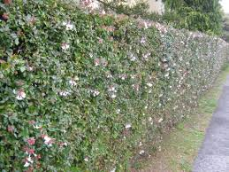 Glossy Abelia grown into a privacy hedge. Does well in full sun.