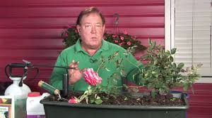 Growing Roses : How to Control Black Spot on Roses - YouTube