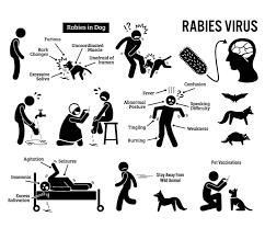all you need to know about rabies  and symptoms of rabies including change in behavior such as unprovoked aggressiveness and excitability paralysis and hydrophobia in five days