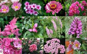 55 best pink flowers with names and