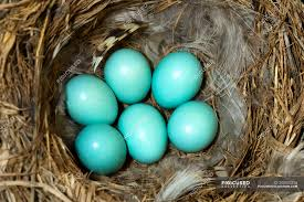 mountain bluebird eggs in bird nest made of plants and feathers sialia currucoides objects stock photo 200825216