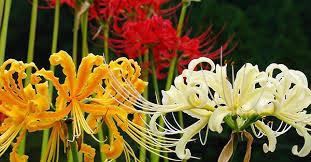 「彼岸花」の画像検索結果