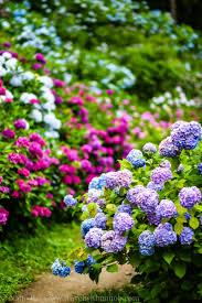 hydrangea garden. chiba-hydrangea-garden-54 hydrangea garden