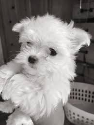 maltese dog. image may contain: dog maltese m