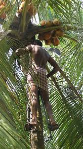 coconut production in kerala  coconut production in kerala