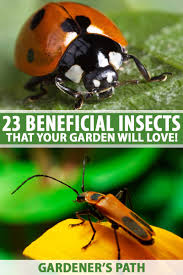 two macro shots of beneficial insects as a collage including a ladybug and an assassin bug