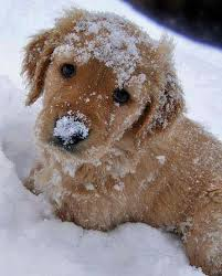 golden retriever puppies playing in snow. Delighful Snow Golden Retriever Puppy Playing In The Snow  To Puppies Playing In Snow E