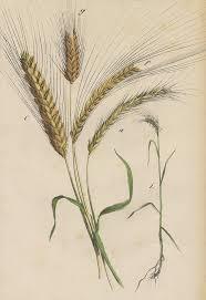 wheat drawing. Interesting Drawing Wheat Drawing  By German Botanical Artist On B
