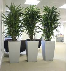 tall indoor plants tall fice plants home furniture design indoor tall plants tall indoor plants safe