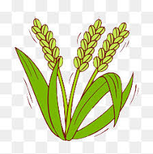 rice plant clipart. Fine Clipart Rice Rice Clipart Paddy PNG Image And Clipart For Plant S
